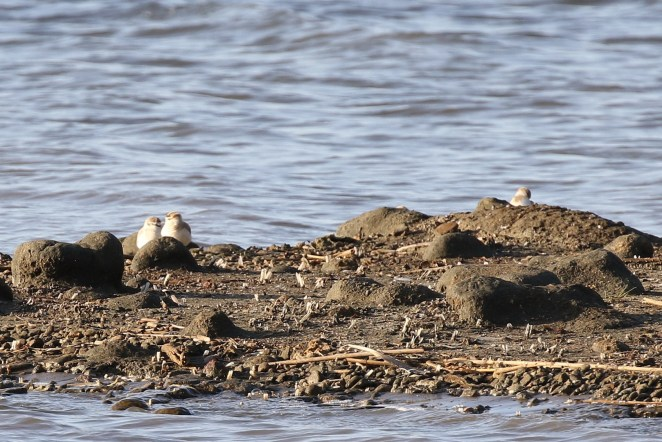 White-fronted Plovers
