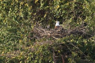 African Fish-Eagle on nest looking imperious