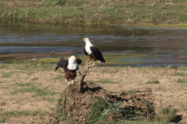 African Fish-Eagles shake down