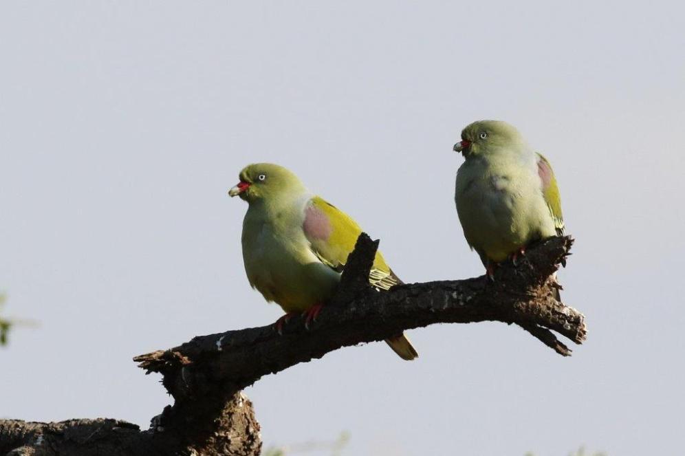 African Green Pigeons