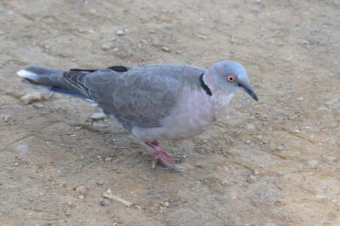 African Mourning Dove_resize