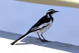 African Pied Wagtail - adult