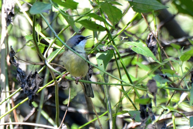 Bar-throated Apalis - Dave Rimmer