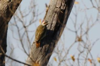 Bennett's Woodpecker - female