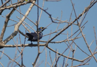 Black-bellied starling John Bremner