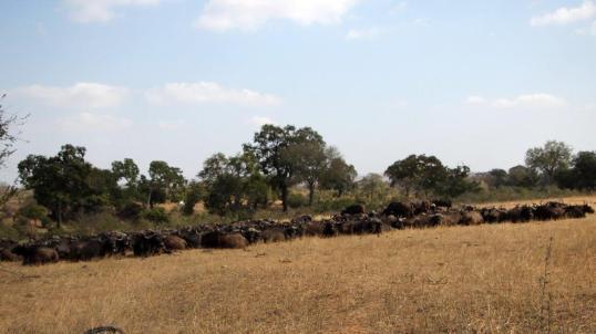 Buffaloes en masse