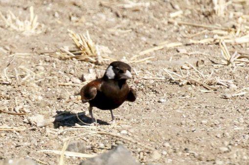Chestnut-backed Sparrow-Lark - male