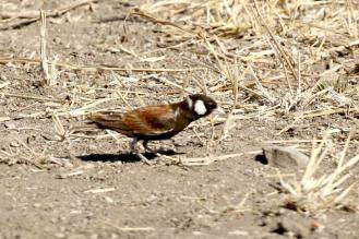Chestnut-backed Sparrow-Lark - male