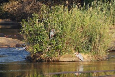 Goliath Herons