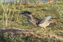 Green-backed Heron looking ruffled