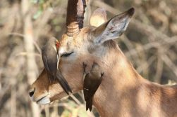 Impala peacefully enjoying a pair of Red-billed Oxpeckers