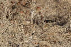 Red-crested Korhan blending with the bush