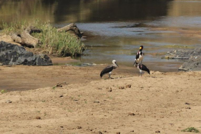 Woolly-necked and Saddle-billed Storks