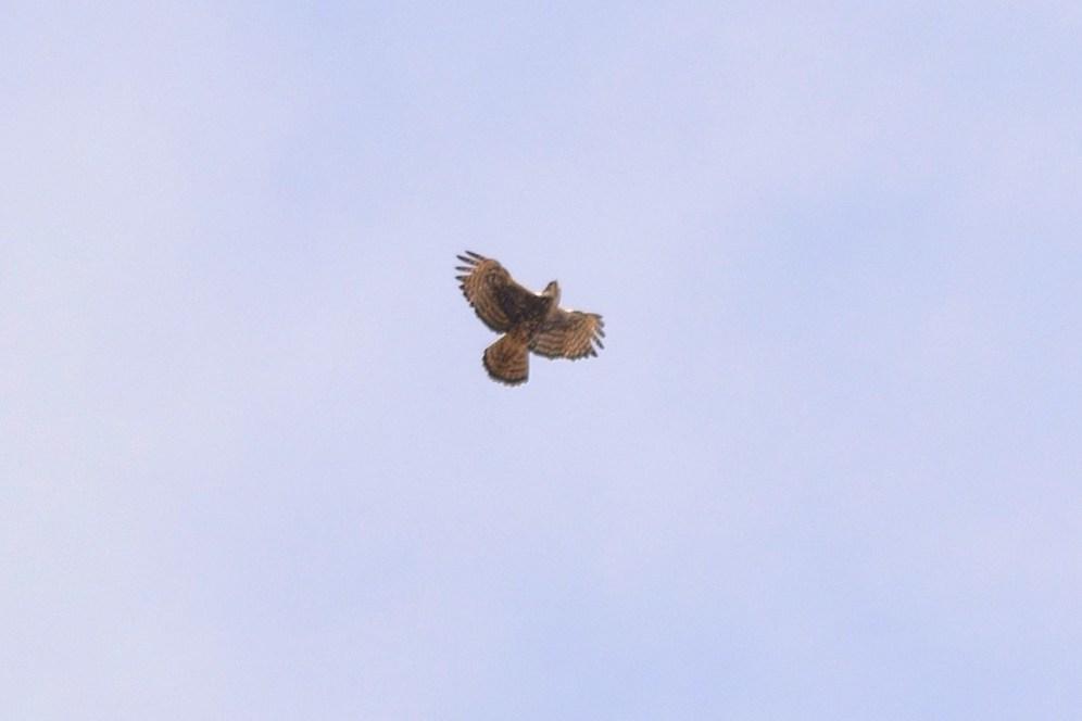 Ayre's Hawk Eagle