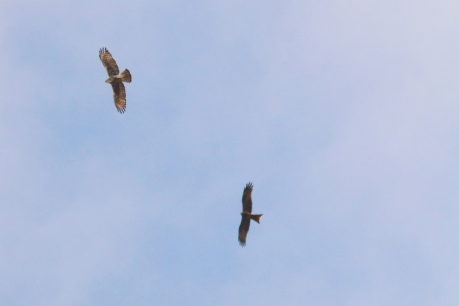 Ayre's Hawk Eagle being harassed by a Yellow-billed Kite