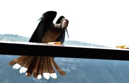 Crowned Hornbill - being fed chips!