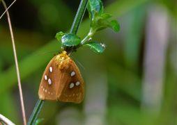 Dice Moth (Rhanidophora cinctigutta)