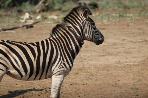 Burchell's Zebra caught by a snare