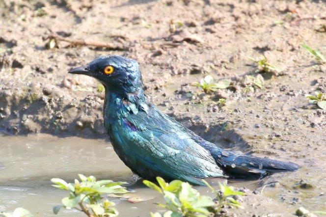 Cape Glossy Starling - bath time
