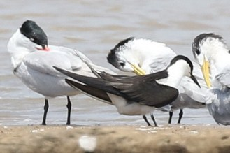 Caspian, Sooty and Swift Terns