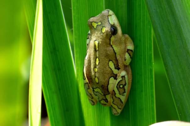 Reed Frog - Decklan Jordaan