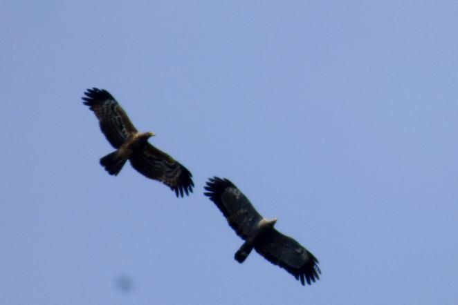 African Harrier-Hawks -Decklan Jordaan