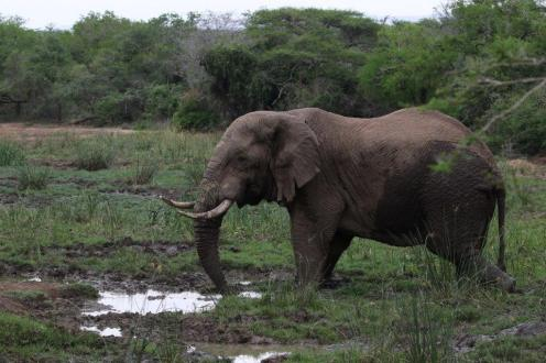 Elephant in for a drink