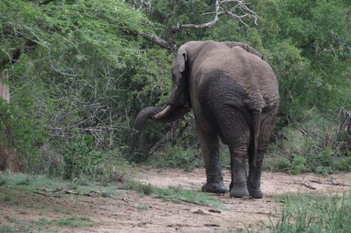 Elephent resting his trunk
