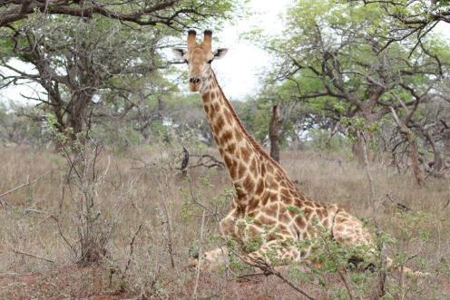 Giraffe at rest