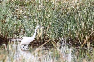 Great Egret - male in breeding plumage
