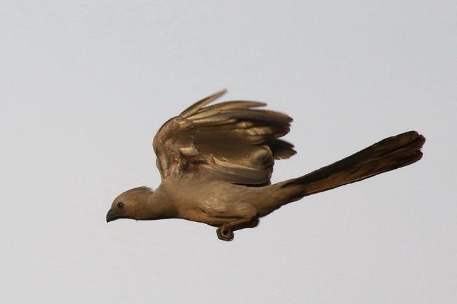 Grey Go-away-bird in flight