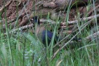 Purple-crested Turaco