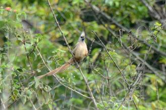 Speckled Mousebird - Dave Rimmer