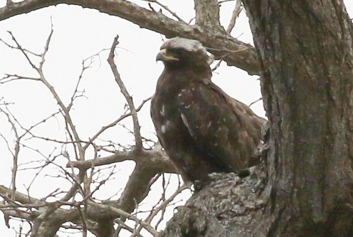 ? Wahlberg's Eagle - white-headed