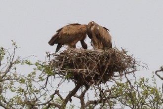 White-backed Vultures on their nest