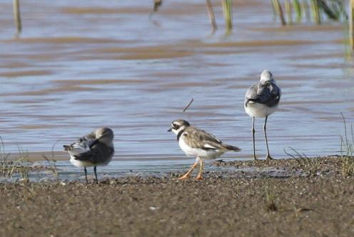 Common Ringed and Kittlitz's Plovers with Marsh Sandpiper