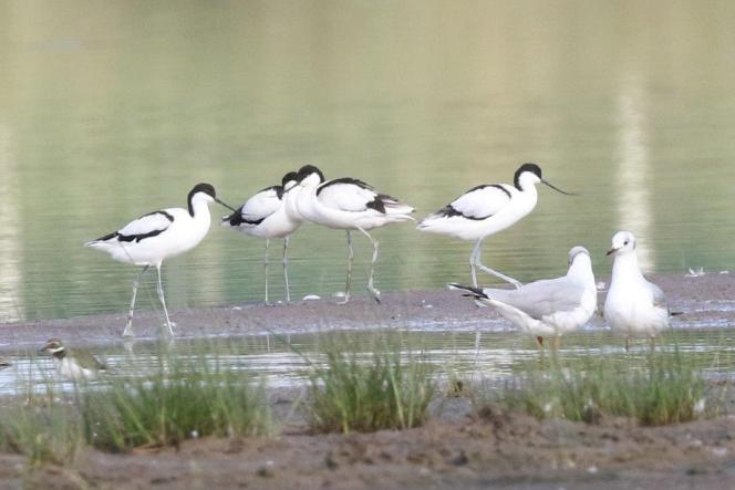 Pied Avocets and Grey-headed Gulls