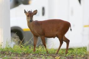 Young male Red Duiker