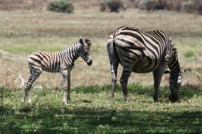 Zebra and newborn