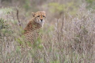 Cheetah - juvenile