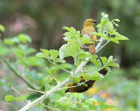 Holub's Golden Weavers male and female - David Swanepoel