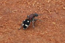 Velvet Ant (wasp) - Paul Bartho