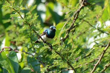 White-bellied Sunbird - male (Dave Rimmer)