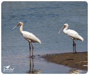 African Spoonbills - Tyron Dall