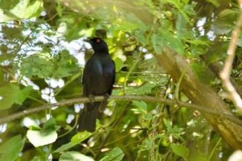 Black-bellied Starling - John Bremner
