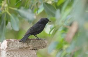 Black Flycatcher - John Bremner