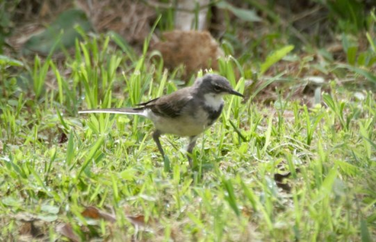 Cape Wagtail - John Bremner