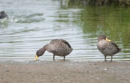 Yellow-billed Ducks - John Bremner