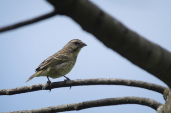 Yellow-fronted Canary - John Bremner