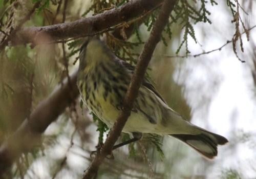 Arrowhead Warbler